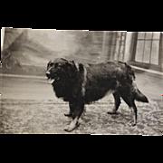 SALE Antique French RPPC Postcard ~ Shepherd Dog