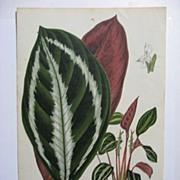 SOLD Large Van Houtte Botanical Print Peacock Plant