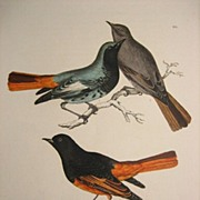 Sir William Jardine & Prideaux John Selby H/C 19th Century Engravings Phoenicura ithys (Black