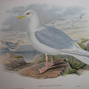 J. Gould Print Birds of Great Britain Iceland Gull 19th C 1800's