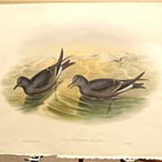 John Gould Lithograph PETRAL Antique Bird Print 1864