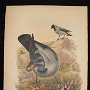 Antique Hand Colored Bird Print Lithograph John Gould Hooded Crow 1862 - 1873