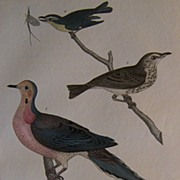 Alexander Wilson Turtle Dove London 1832