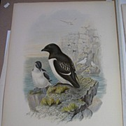 John Gould Hand Colored Lithograph Birds of Great Britain  Little Auk 19th Century