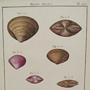SALE Lamarck shell engraving Coquille bivalve