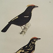 SALE Jardine Selby H/C Bird Engraving Flame Crested Tanager