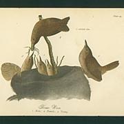 Audubon Bird Print - 1888 Color Litho of House Wren