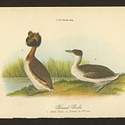 Audubon Bird Print - 1888 Color Litho of Horned Grebe