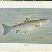 Vintage William B. Gillette Fish Print - Salmon