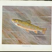 Vintage William B. Gillette Fish Print - Female Brook Trout