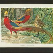 Golden Pheasants Chromolithographic Print - W. Kuhnert - Circa 1900