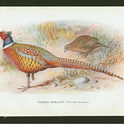 Pheasant Prints - Group of Six by F.W. Frohawk