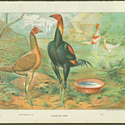 Ludlow Poultry Print - Exhibition Game: Black-Breasted Red and Pile Chickens