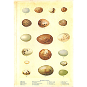 Color Print of American Bird Eggs