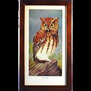 Screech Owl Print by Schuyler Mathews
