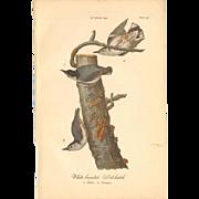 Audubon Bird Print - 1888 Color Litho - Nuthatches
