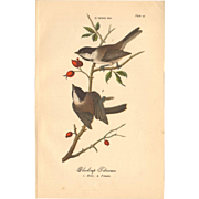 Audubon Bird Print - 1888 Color Litho - Blackcap Titmouse