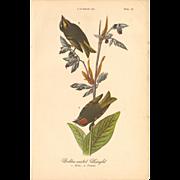 Audubon Bird Print - 1888 Color Litho - Golden-crested Kinglet