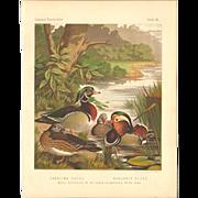 Cassell's Poultry Print - Wood Ducks & Mandarin Ducks