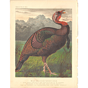 Cassell's Poultry Print - Wild American Turkey