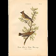 Audubon Bird Print - 1888 Color Litho of Cedar Waxwing