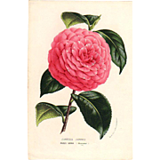 SOLD 1858 Camellia Botanical Print by Van Houtte #1