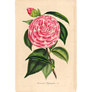 SOLD 1858 Camellia Botanical Print by Van Houtte #2