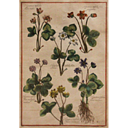 Hand Colored Botanical Engraving - 19th Century (or Possibly Older)