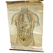 REDUCED Vintage English Anatomical Medical Teaching Chart Viscera Of Chest & Abdomen
