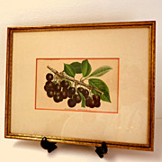 Antique French Botanical Print / Lithograph.  Bigarreau Napoleon III.  Cherries.  Exquisite ++