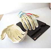 Anatomical Human Hand Display Skeleton
