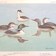 Bird Portrait Brooks Grebe-Loons