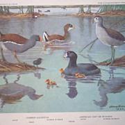 Bird Portrait Brooks Gallnule Mud-hen