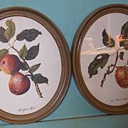 Botanical Lithographs-Apples in Oval Frames