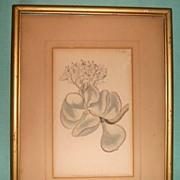 Botanical Etching-W. Curtis St. George