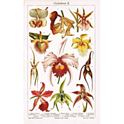 SOLD Orchids. Fine Chromo Lithograph from 1900