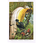 SOLD 1900: Chromo lithograph of Birds of Paradise. Decorative.
