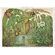 SOLD Insect eating Plants. Decorative Chromo Lithograph from 1900
