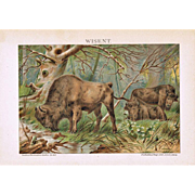 Bison: Old Chromo Lithograph from 1900