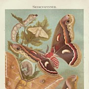 SOLD 1898: Evolution of the Silk Worms. Old Chromolithograph