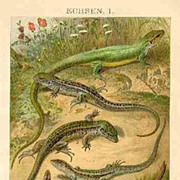 Saurian. Old, decorative Chromo Lithograph, 1901