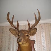 Handsome Buck Deer Mount Taxidermy