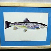 SALE Sea Run Brown Trout Framed Fish Print 50% OFF
