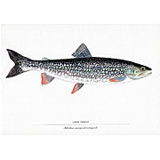 SALE Print Lake Trout 50% off