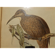 Antique Bird Print - Hullmandel & Walton handcolored lithograph Dendrocolaptes