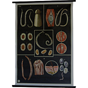 Vintage Medical Biology School Teaching Chart - Human WORM Parasites