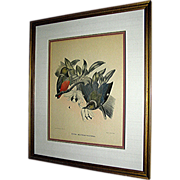 SALE Print by D. G.  Elliot of Pitta Erythr O Castra, late 19th century