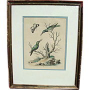 SALE Rare Framed Hummingbird Engraving by George Edwards