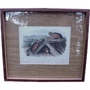 Hand-Colored Audubon Lithograph Little Chief Hare