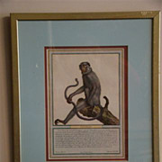 Antique hand colored print titled L'entello monkey